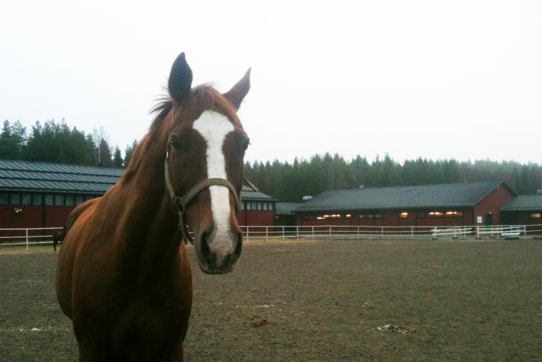 På stallet kan man träffa trevliga hästar.