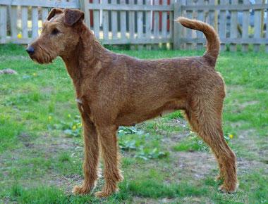 Bilden på irländska terriern Stina är lånad med tillstånd från kennel Caroholm.