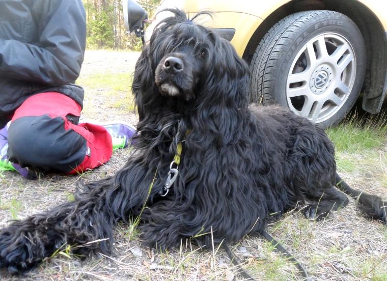 Portugisiska vattenhunden Ella.
