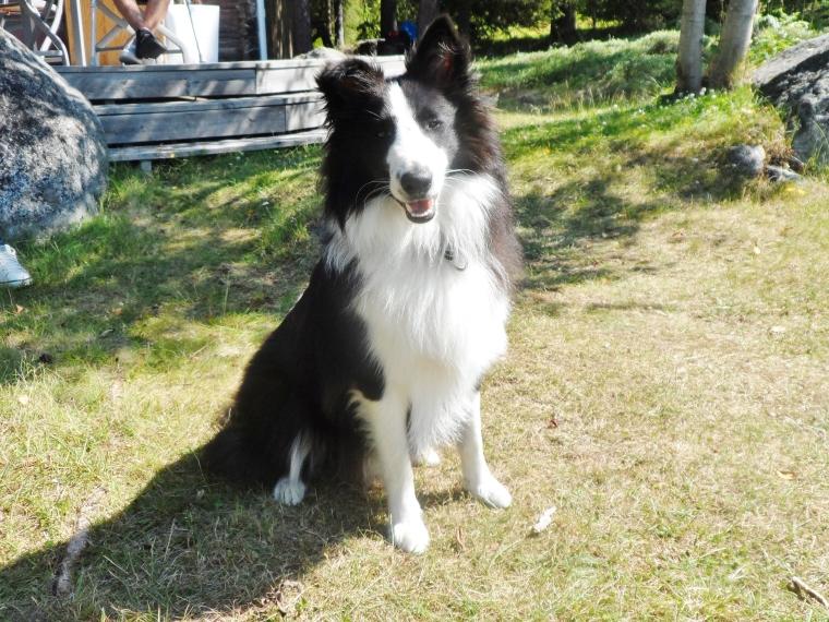 Shetland sheepdog är ursprungligen en fårvallare, vilket gör att rasen har nära till skallet.