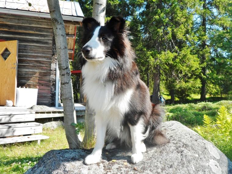 Här är Dio, en svartvit shetland sheepdog.