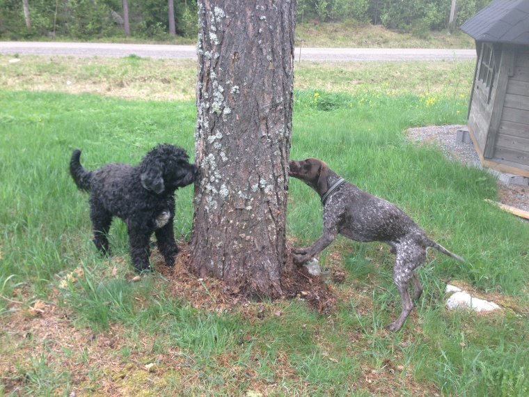 Här är det mina hundar Trassel och Hagel som får jobba med köttbullsträdet tillsammans.