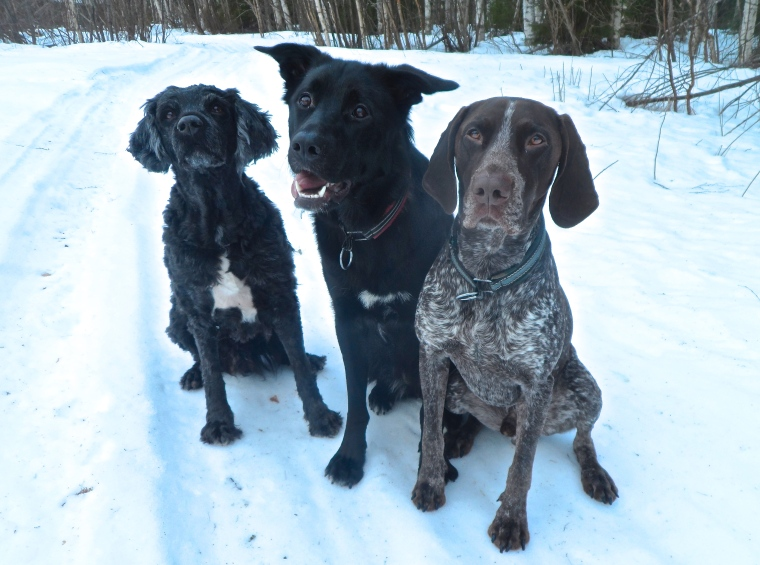 """Här är mina """"innehundar"""". Det är Trassel, Nora och Hagel."""