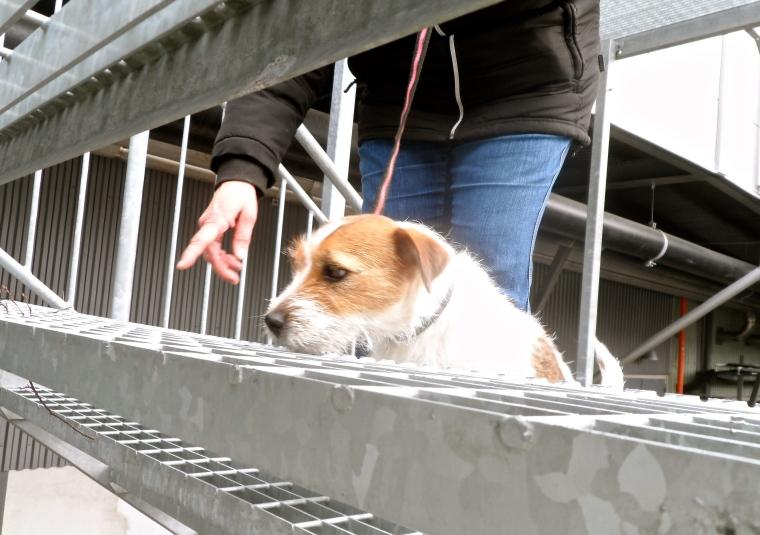 Jack russel terriern Smilla kämpade med sina små tassar i gallertrappan.