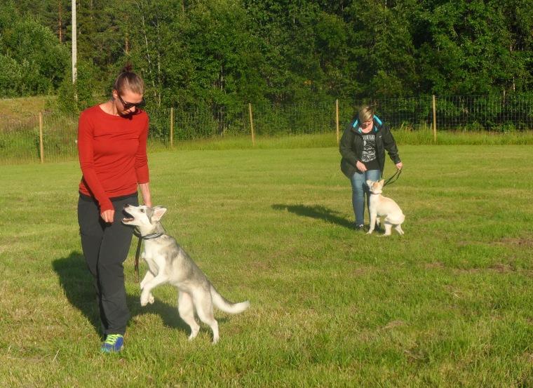 Shirly Holmberg med siberian husky Töa och Evelina Boneruda med sin schäfer Vilja tränar för fullt.