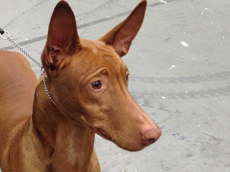Visst är faraohundar fina och uttrycksfulla?