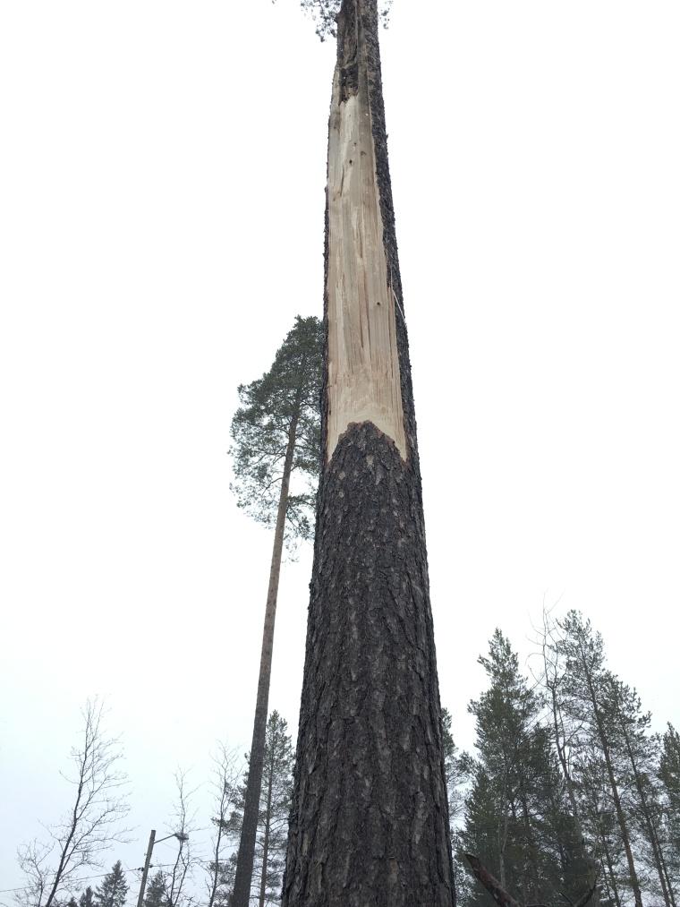 Så här ser trädet ut som står kvar.
