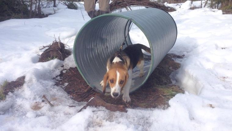 Beaglen Scott passerar tunneln i ett nafs.